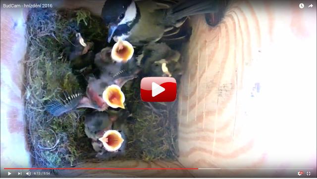Video z hnízdìní sýkorek 2016